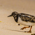 Ruddy Turnstone (Steenloper)