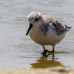Sanderling (Drietoonstrandloper)