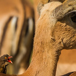 Red-billed Oxpecker (Rooibekrenostervo�l)